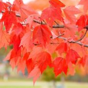 Mysterious tree, or Red maple leaf meaning