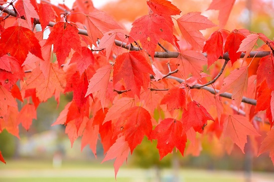 Autumn in its glory – Mysterious tree, or Red maple leaf meaning