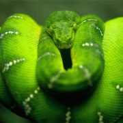 Beautiful Poisonous West African Green Mamba
