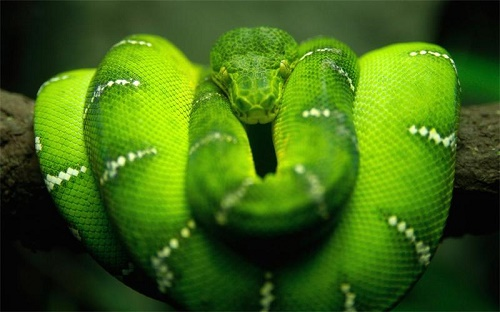 Beautiful and dangerous Green snake, Poisonous West African Green Mamba