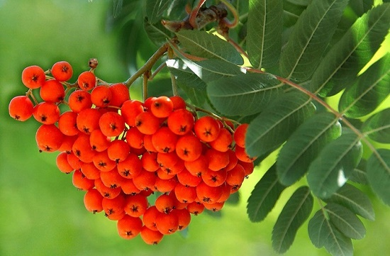 Beautiful red rowan berries
