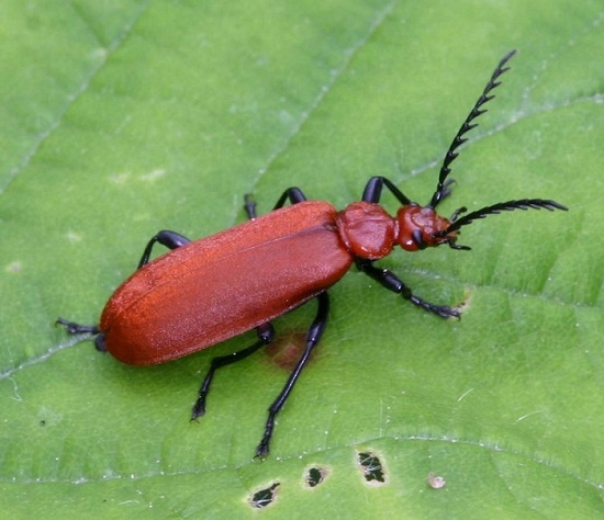Beetle red cardinal