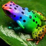 Changing colors beautiful rainbow frog