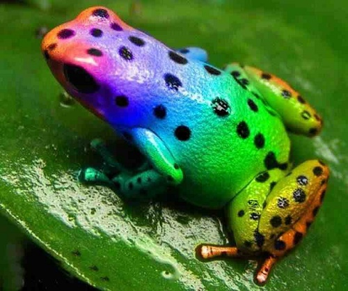 Black spots on colorful body. Changing colors beautiful rainbow frog