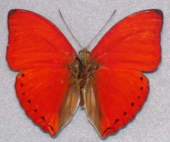 Blood red glider. Beautiful Scarlet Red Animals