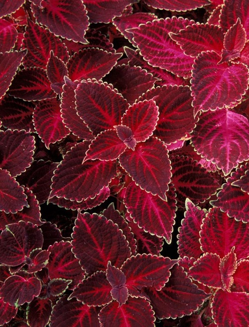 Home plant known as Coleus