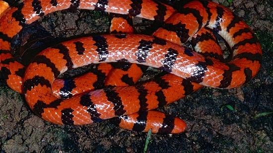 Brazilian smooth snake