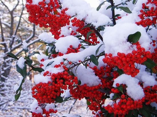 Covered with snow red rowan berries