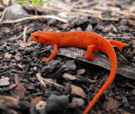 East red spotted newt