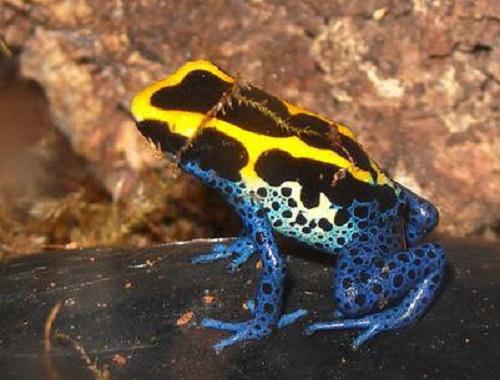 Endangered rainbow frog