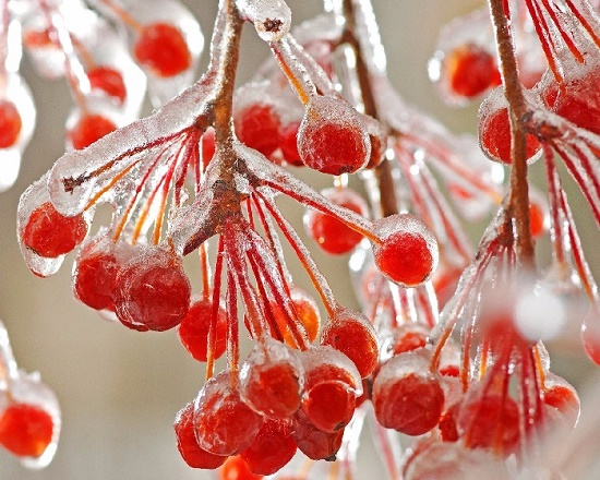 Frozen berries of red rowan