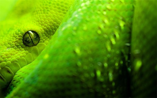 Green mamba, described in 1844 by the American herpetologist Edward Hallowell