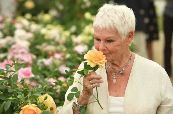 Peach color roses by David Austin named after the British actress Dame Judi Dench (2017)