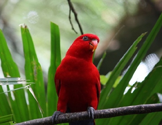 Red Lory. Amazing Scarlet Red Animals