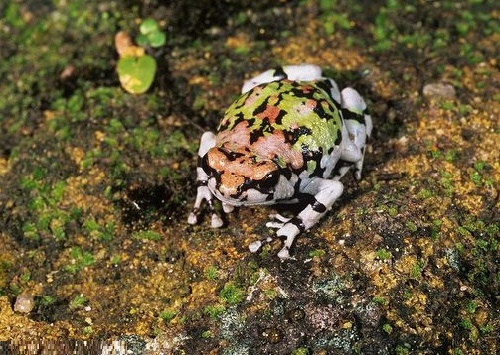 Red rain frog, one of the names for rainbow frog