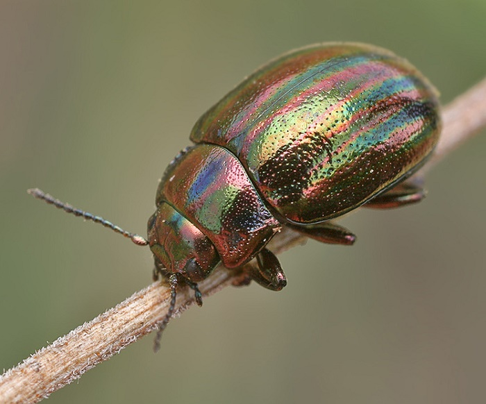 Spectacular Chrysolina cerealis