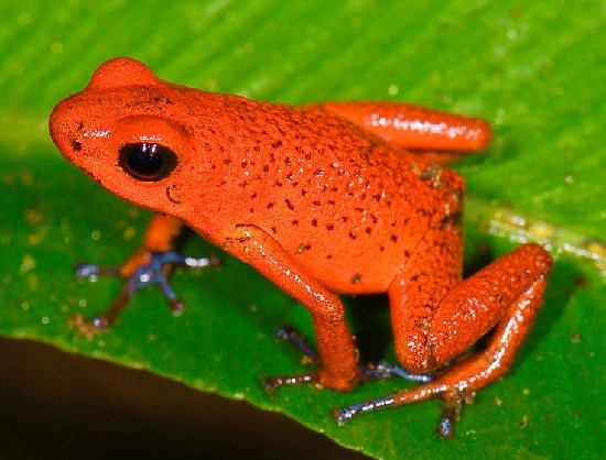 Strawberry poisonous frog. Beautiful Scarlet Red Animals