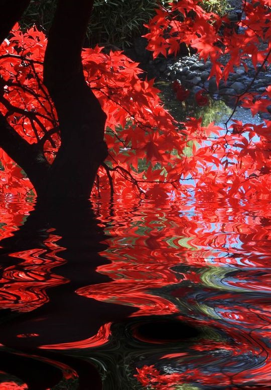 Stunning red maple leaves