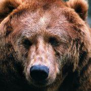 Symbolic Russian animal – Brown bear