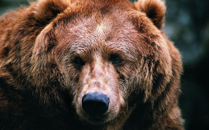 Symbolic Russian animal – Brown bear