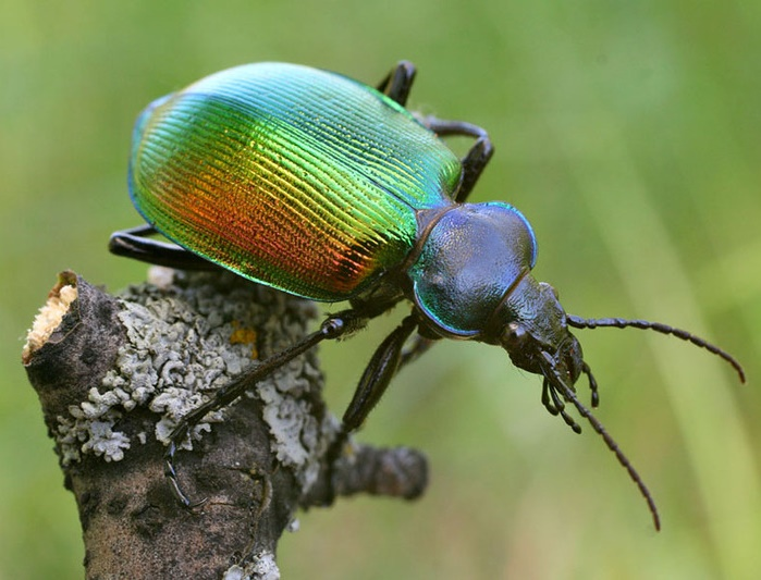 The color of Calosoma sycophanta varies from green to copper-red depending on the lighting
