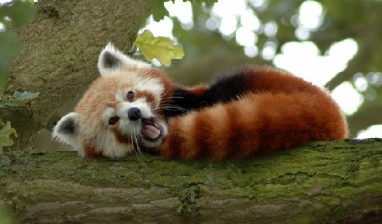 The lesser panda